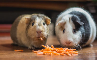 Guinea pigs sharing food